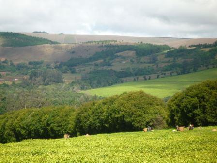 Tea Plantation in Luewa District of Njombe